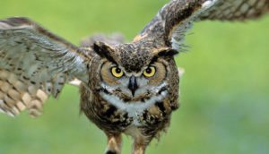 Owl-is-a-fascinating-bird