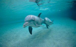 baby-dolphin
