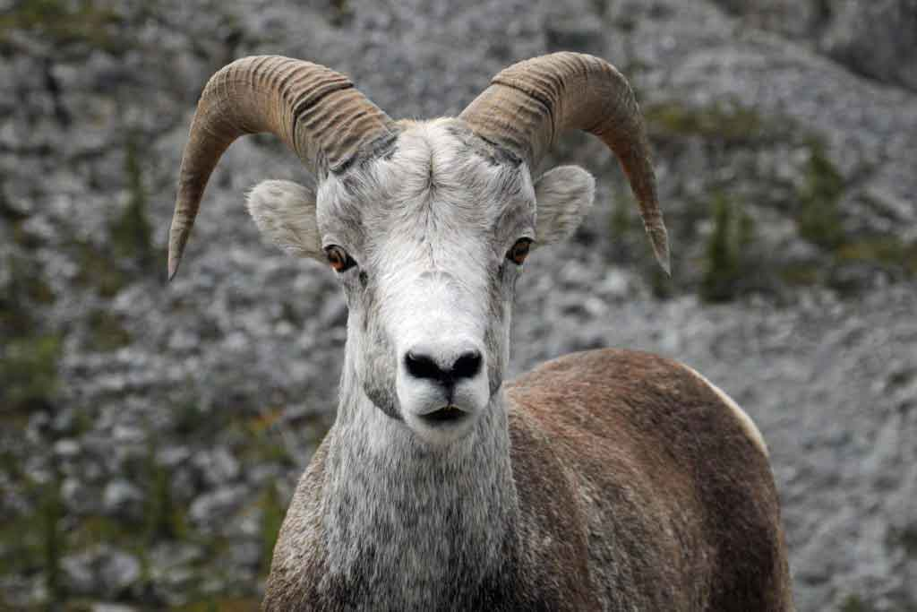 interesting-facts-about-goats