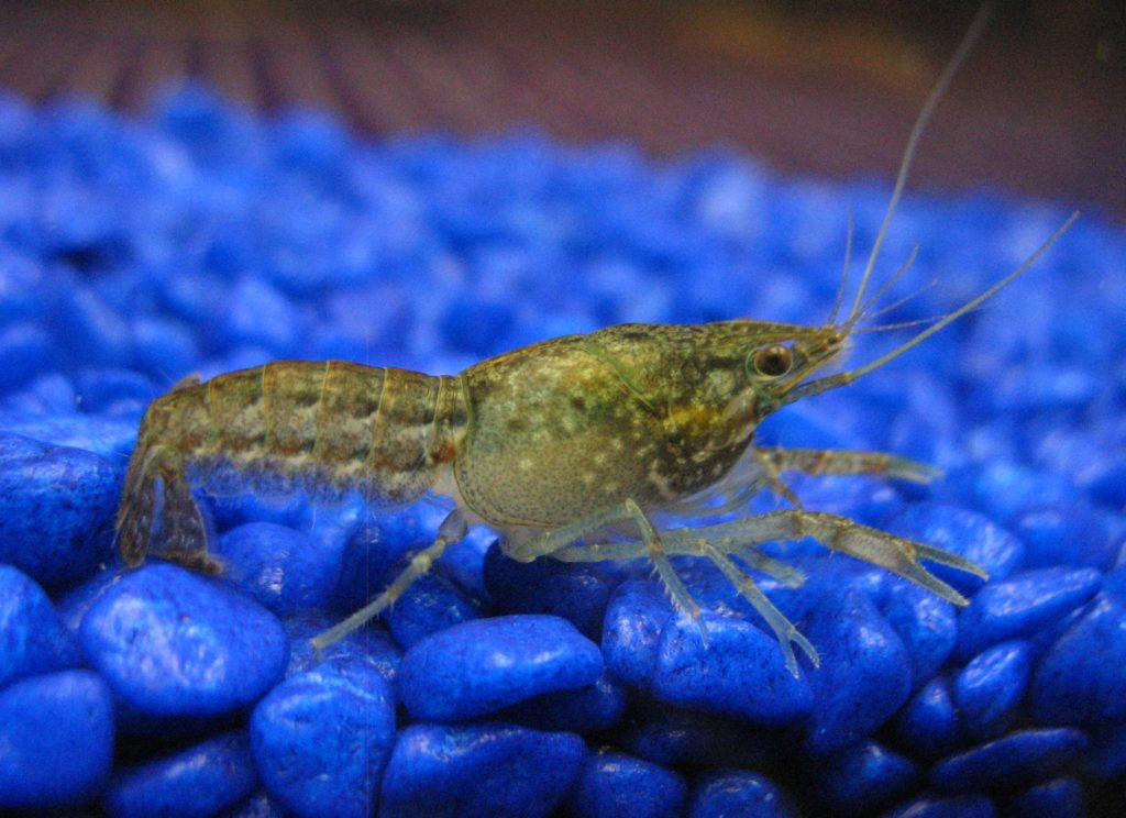 marbled-self-cloning-crayfish