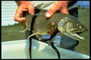 salmon-lamprey