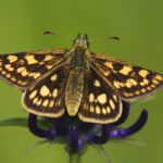 Chequered-skipper