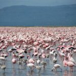 Large-number-of-flamingos-at-Lake-Nakuru