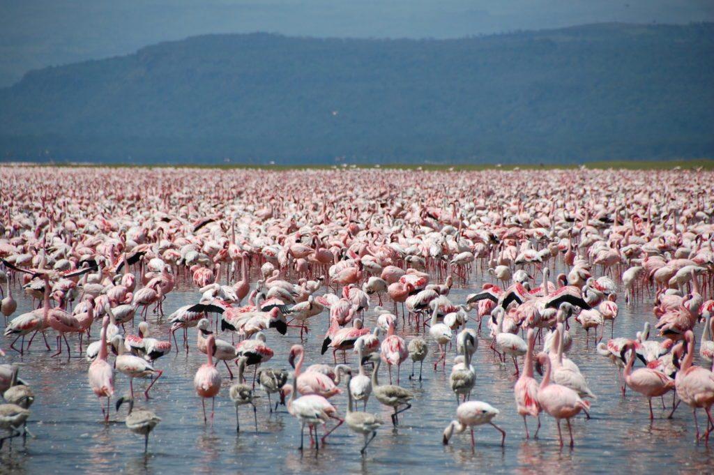 Large-number-of-flamingos-at-Lake-Nakuru