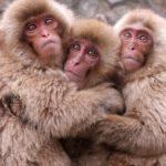 Macaques-hug
