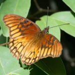 Silverspot-Butterfly