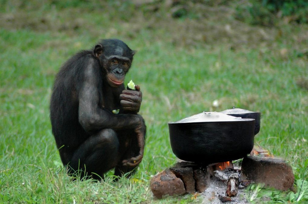bonobo-cooking