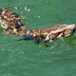 burmese-python-swimming