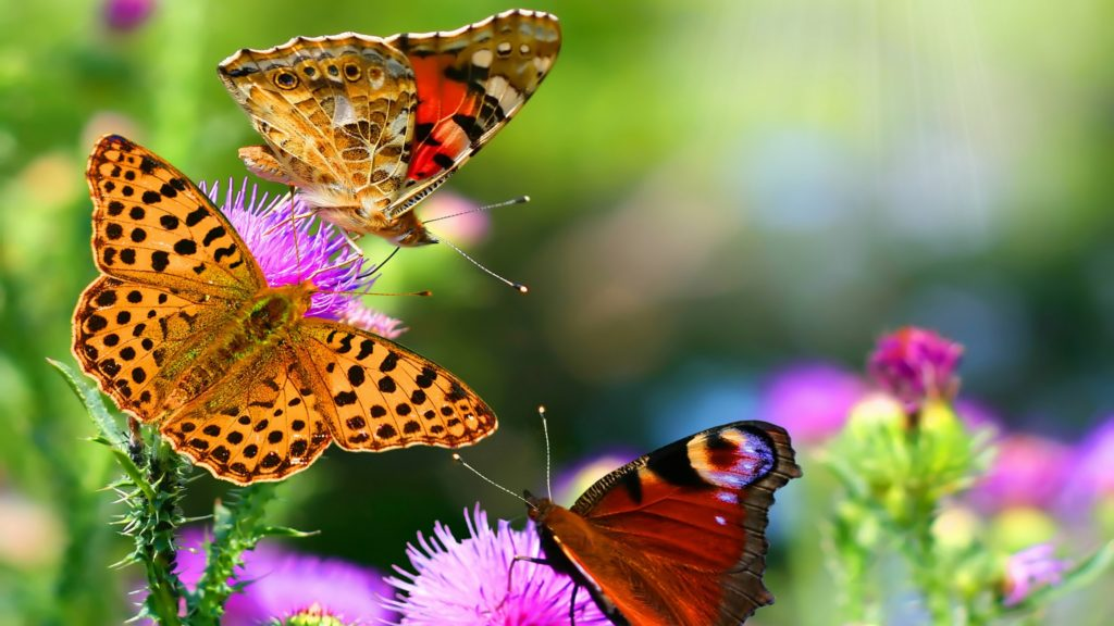 butterflies-flying-multicolored-colorful