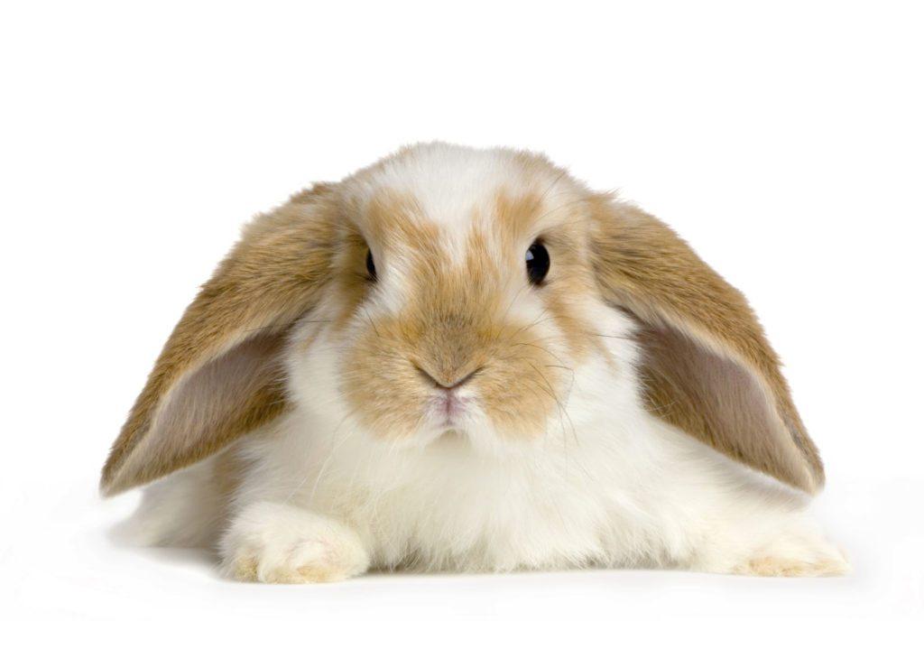 cute-rabbit