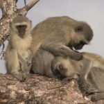 drunk-Vervet-monkeys