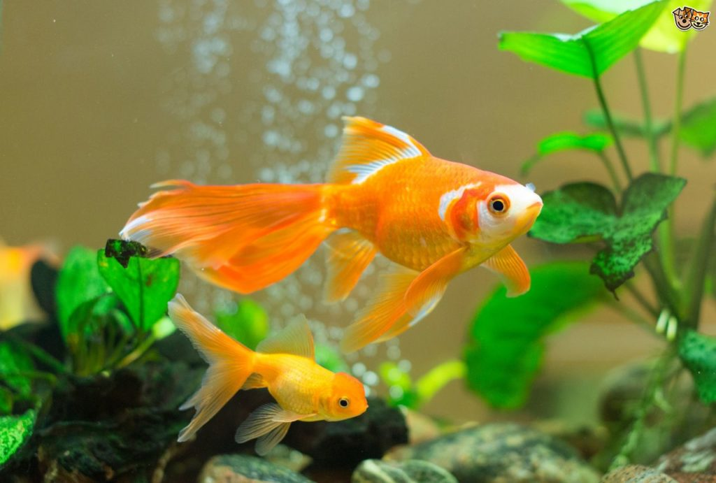 goldfish-friendship