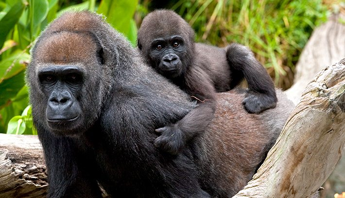 gorilla-and-her-baby