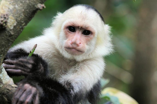 A White-headed Capuchin (Cebus capucinus) hanging on a tree branch in Costa Rica at Zoo Ave.
