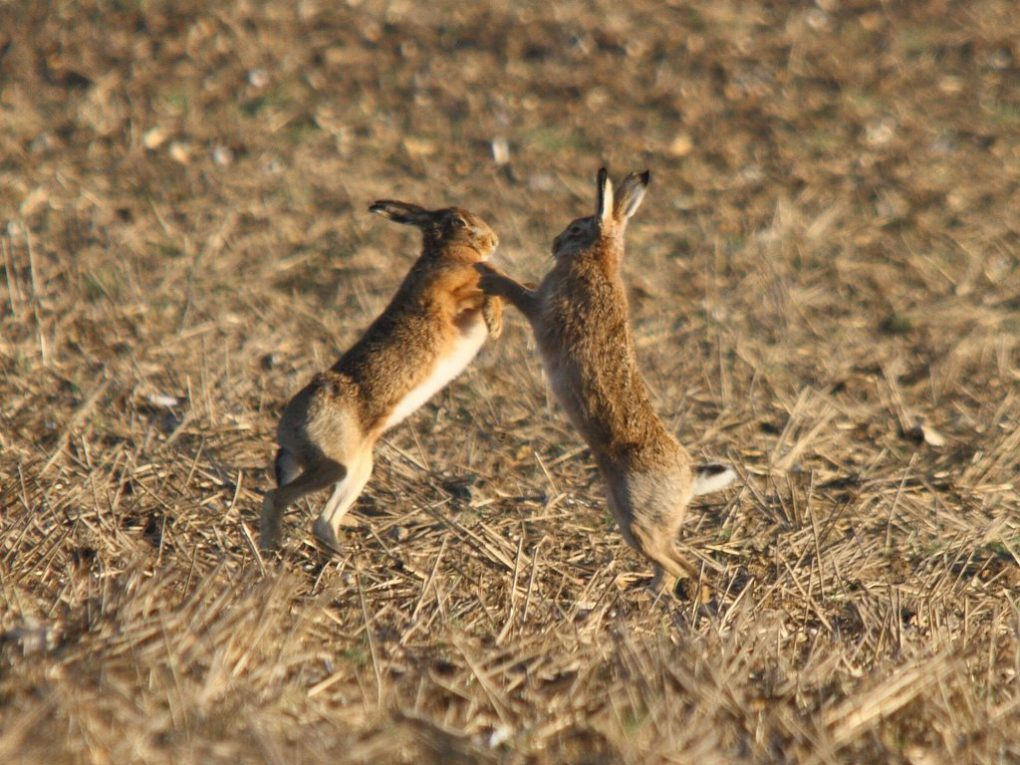 In a field in Norfolk, a female brown hare wards off a male's aggressive advances