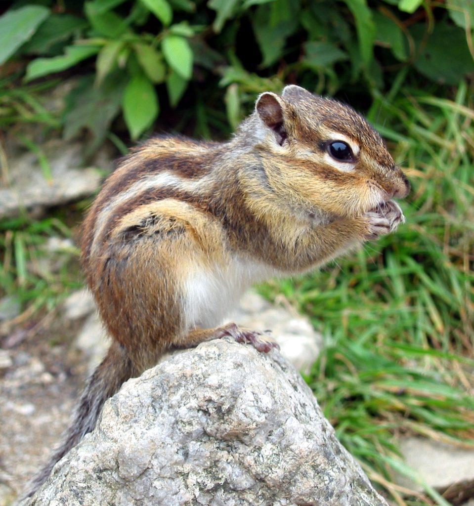 Siberian-Chipmunk