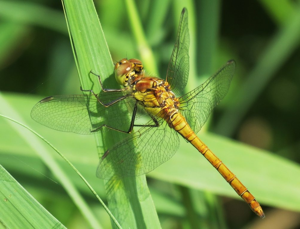 Dragonflies breath through pores in their exoskeleton known as tracheae