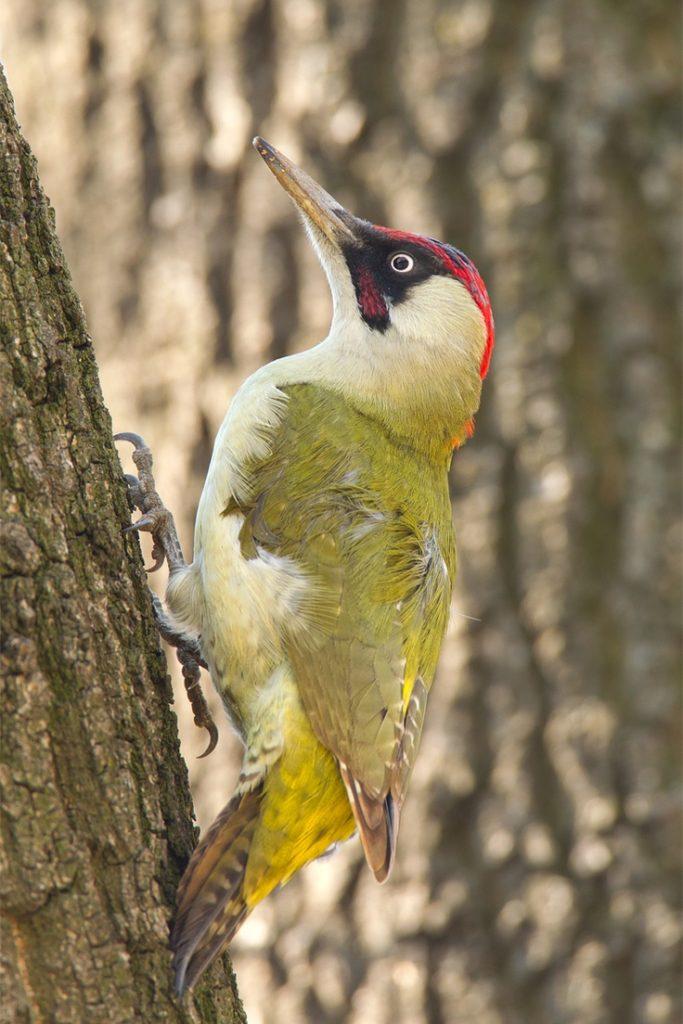Green-Woodpeckers
