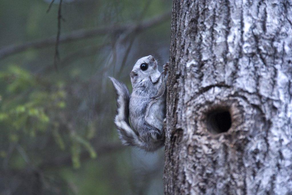 Siberian-flying-squirrels