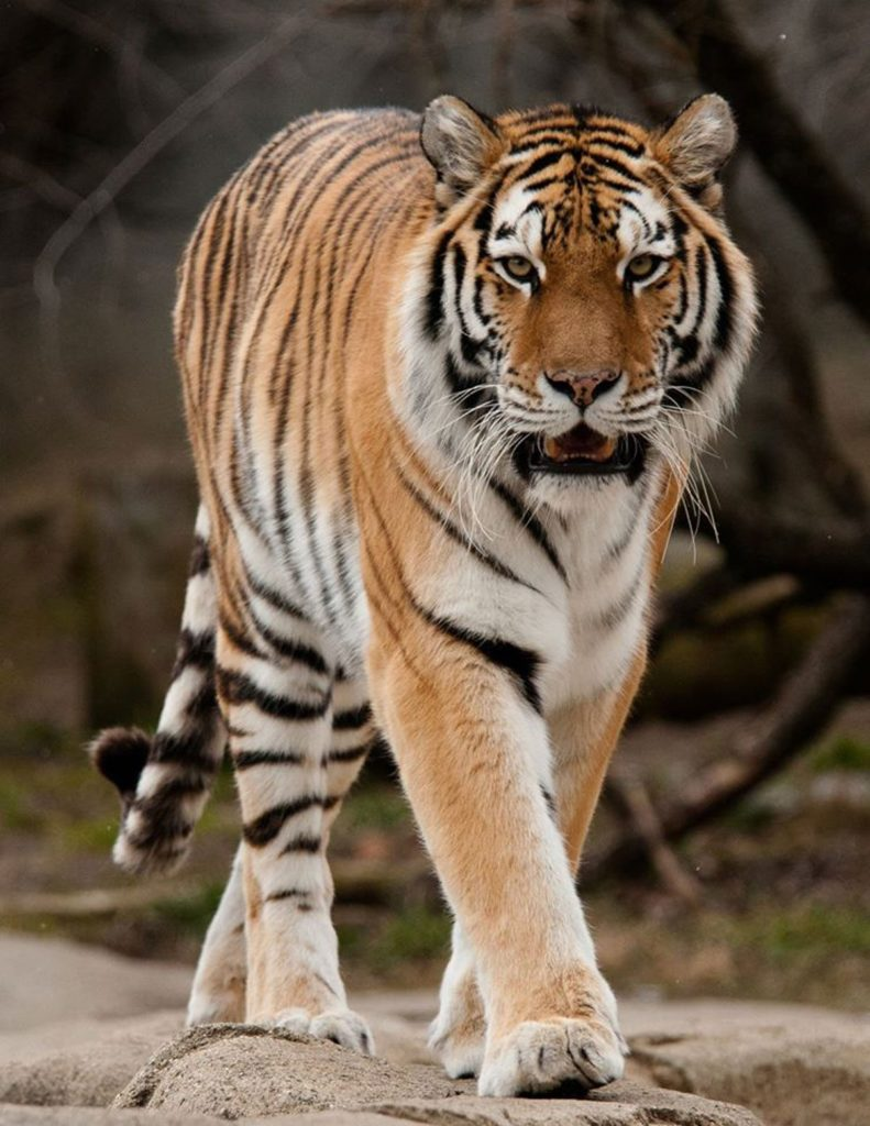 The Environmental Investigation Agency argues that farming tigers sends the wrong message