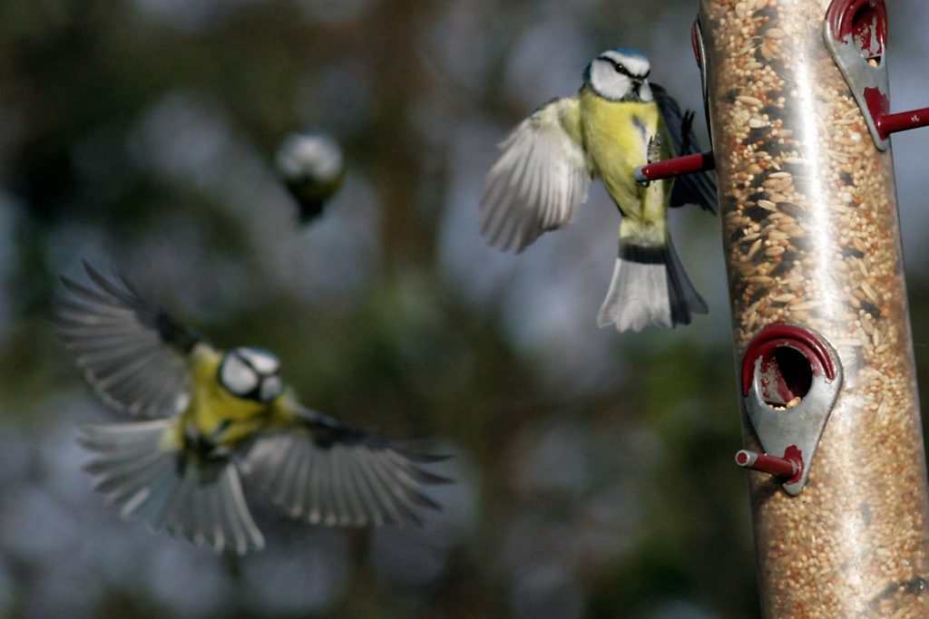 Blue Tit flying at Silver Birch Glade