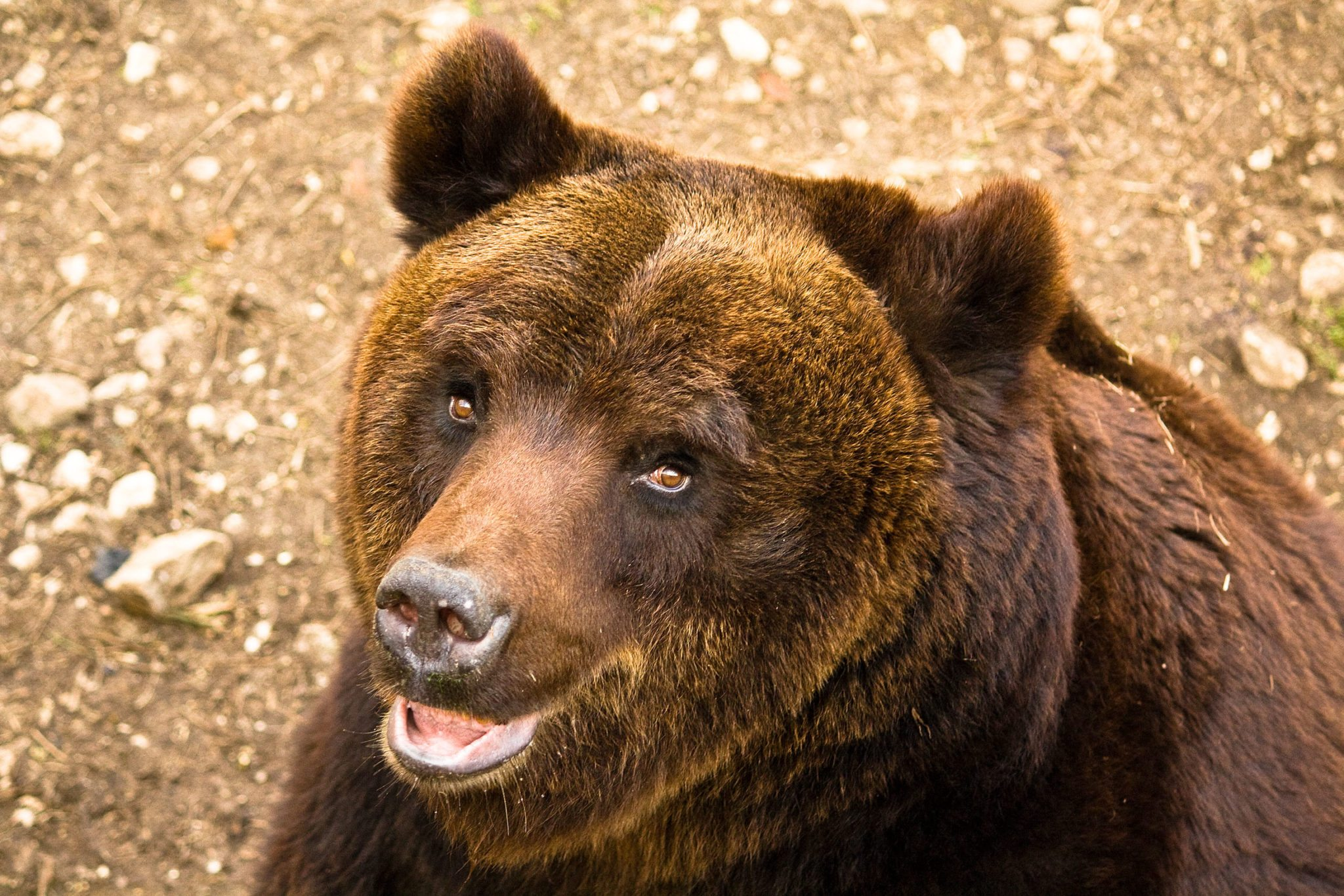Sandrino, a male Marsican Bear