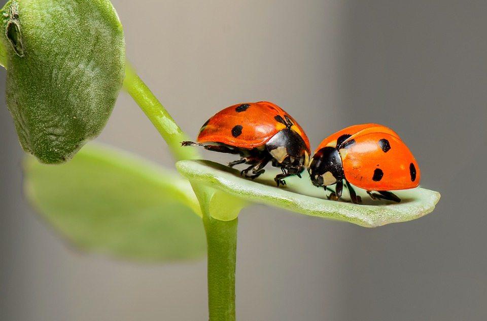Ladybirds Ladybugs Bugs Two Love Insects Couple