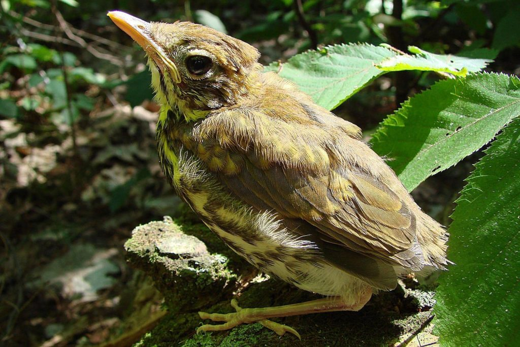 baby-wild-bird