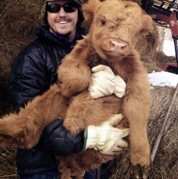 cute-cows-1
