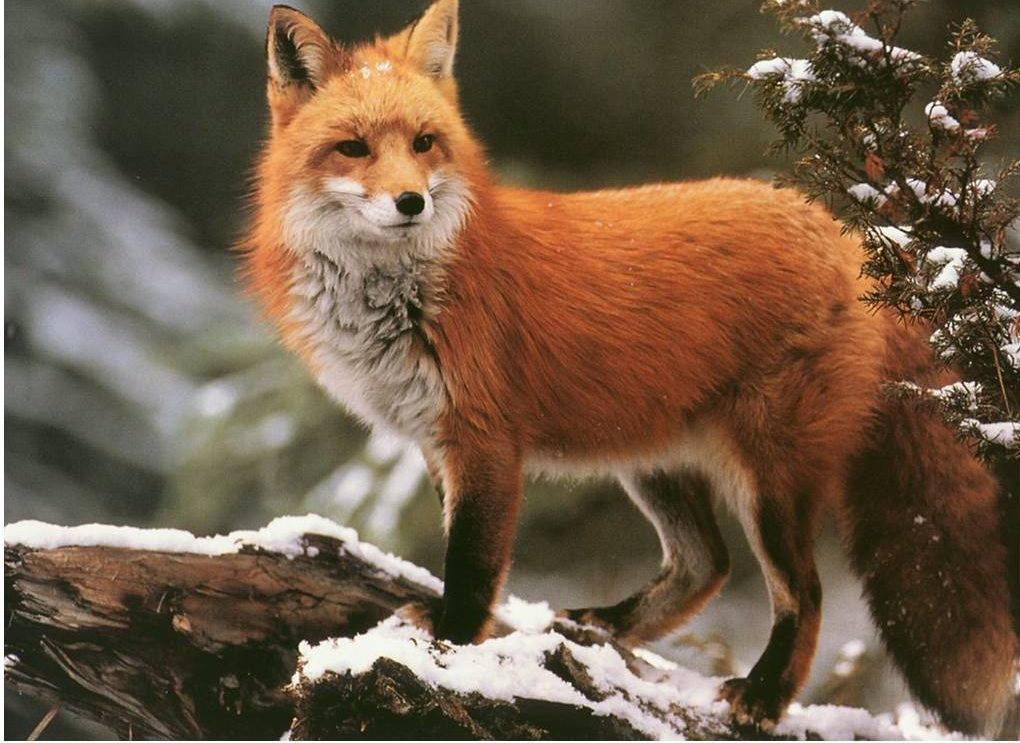 fox-facts-1