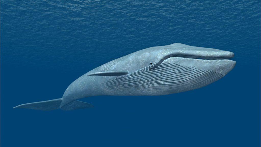 blue-whale-1